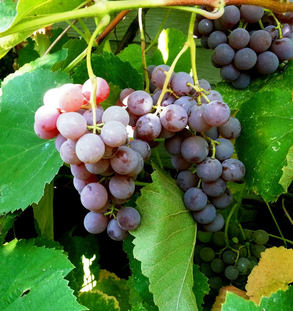 виноград розовый фото предварительный