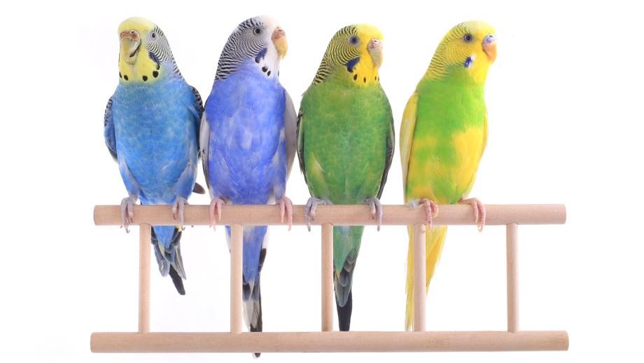 Papużki faliste – kolorowi przyjaciele domu