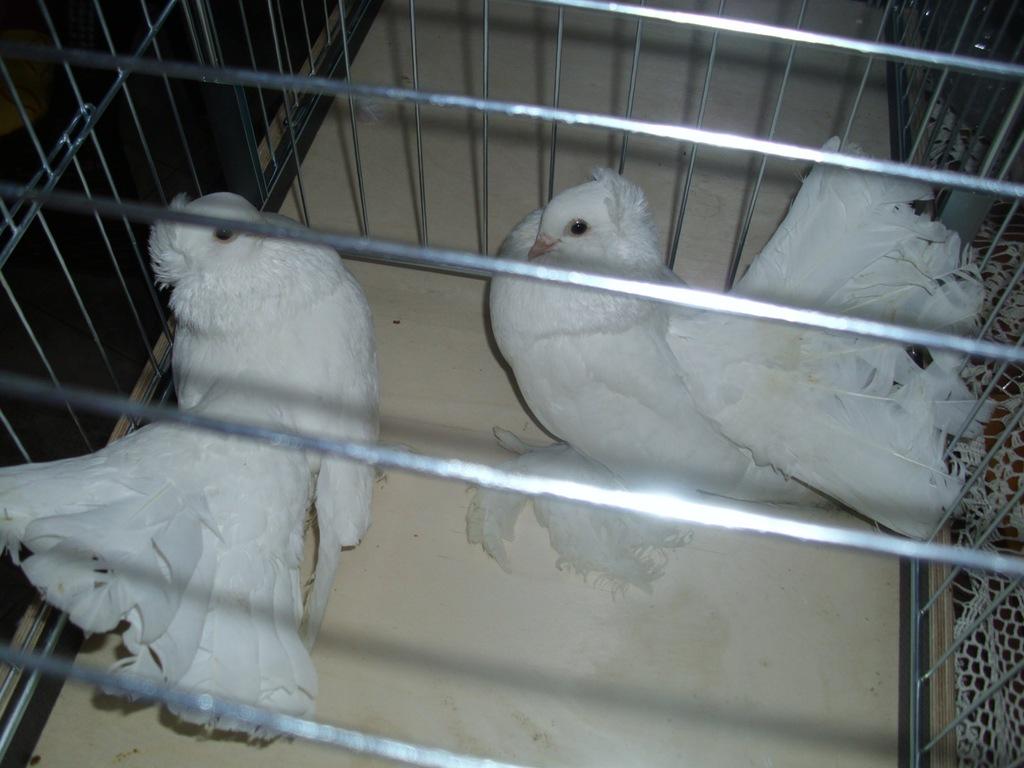 Sprzedam gołębie  omskie , białopierśne, zamojskie
