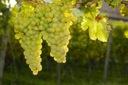 Winorośl wczesna Piesnia art. nr 240