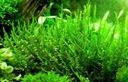 Creeping moss Mech Ładny DUŻA PORCJA Bstok saxon4