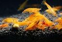 Krewetka Orange sakura pomarańczowa XL saxon4