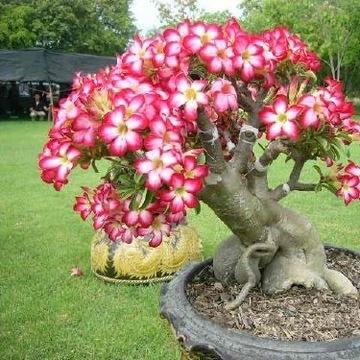 Adenium obesum Desert Rose MINI BAOBAB