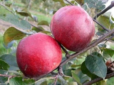 Яблоня MALINÓWKA Oberlandzka вкус малин - № 1