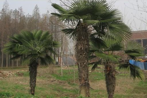 Palma mrozoodporna Trachycarpus Fortunei 80-100cm
