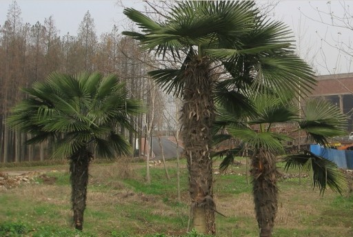 Palma mrozoodporna Trachycarpus Fortunei P13